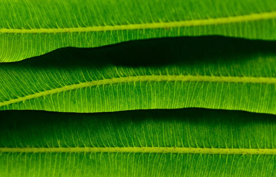 Leaf Hills, Detail of a fern in Longwood Gardens, PA