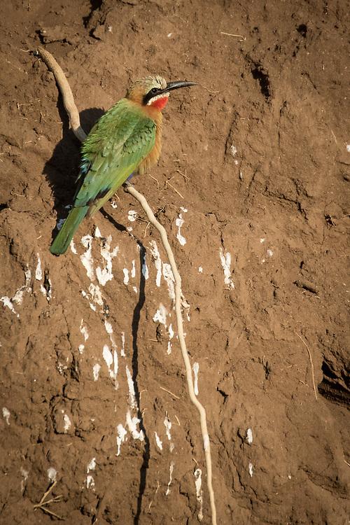 Merops bullockoides, Botswana