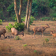 A sambar (Rusa unicolor) family enter a clearing in the Huai Kha Khaeng Wildlife Sanctuary, Thailand.