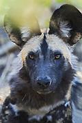 African Wild Dog <br /> Lycaon pictus <br /> Okavango Delta, Botswana