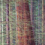 Redwood, Chatelherault Country Park, Hamilton