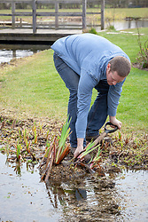 Dividing pond plants - iris. Lifting out of pond.
