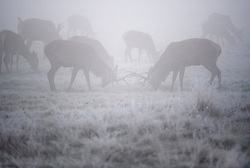 © Licensed to London News Pictures. 29/11/2016. London, UK. A deer stags rutting amongst a mist and frost covered landscape in Richmond Park, London as temperatures in the UK plummet. Sub zero temperatures are due to spread to the south east this week as winter starts to set in. Photo credit: Ben Cawthra/LNP