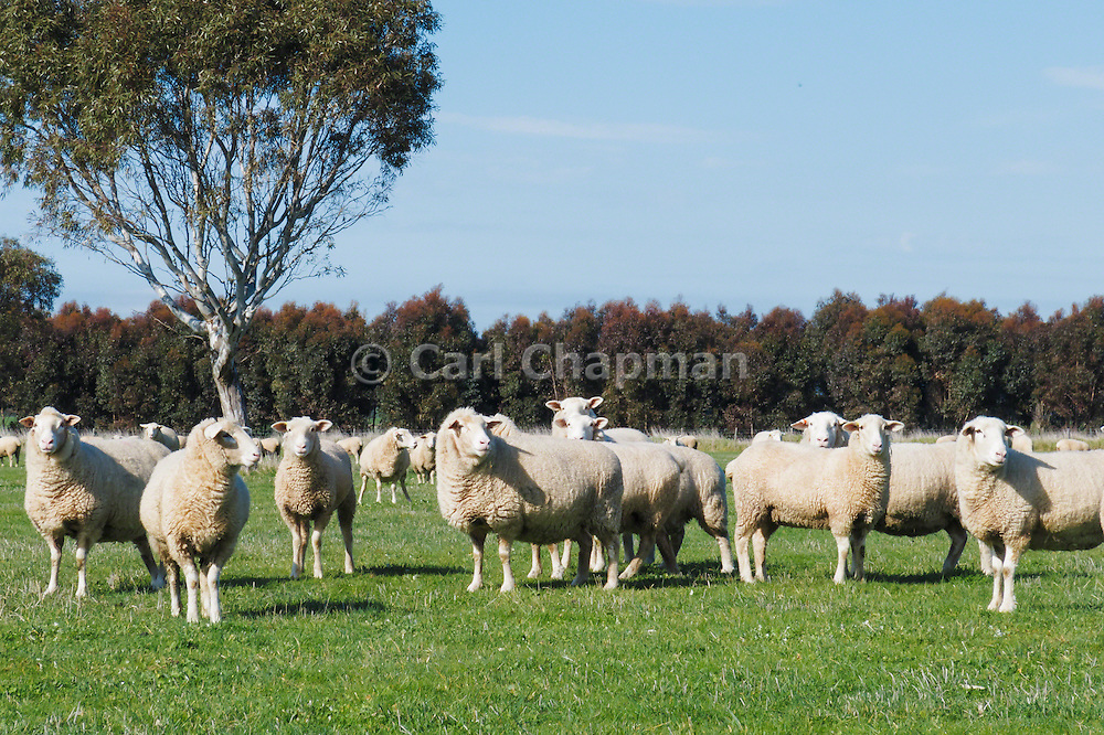 Flock of white suffolk sheep ewes in farm paddock in rural country Victoria, Australia.