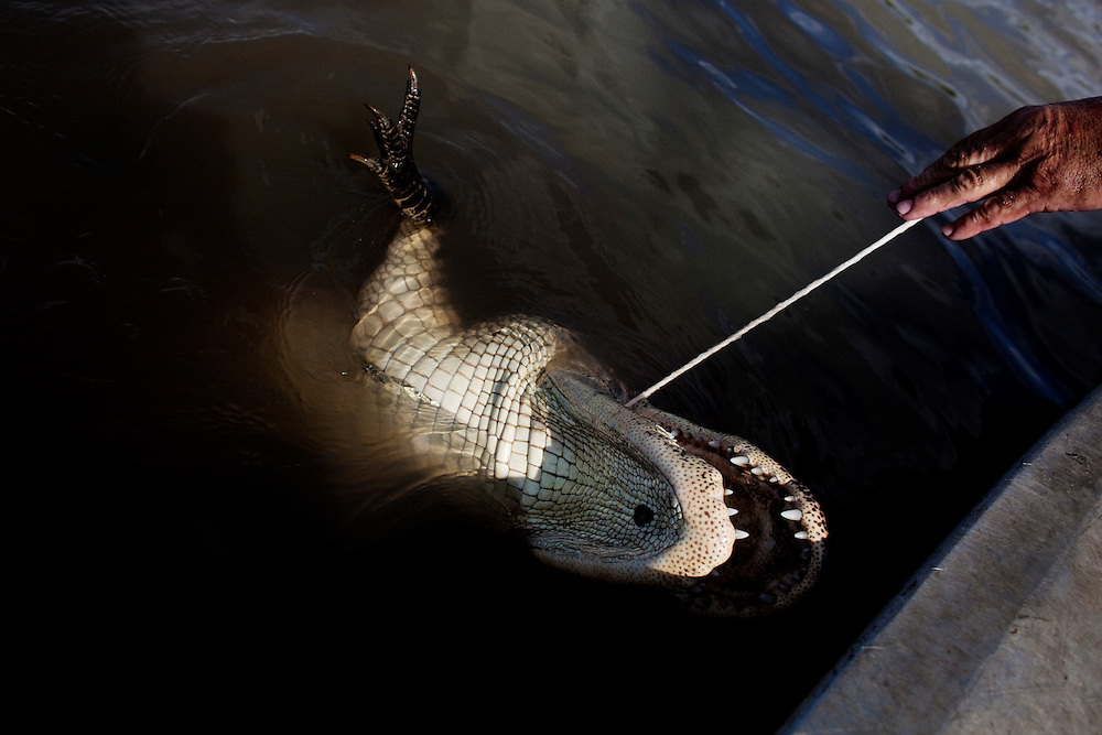 Julius pulls a freshly shot gator into the boat while alligator hunting near Shell Island, Louisiana on Saturday, September 19, 2009.