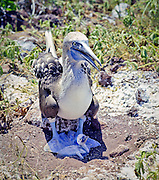 Blue Footed Booby sheltering chick from harsh sun,  Galapagos Islands.