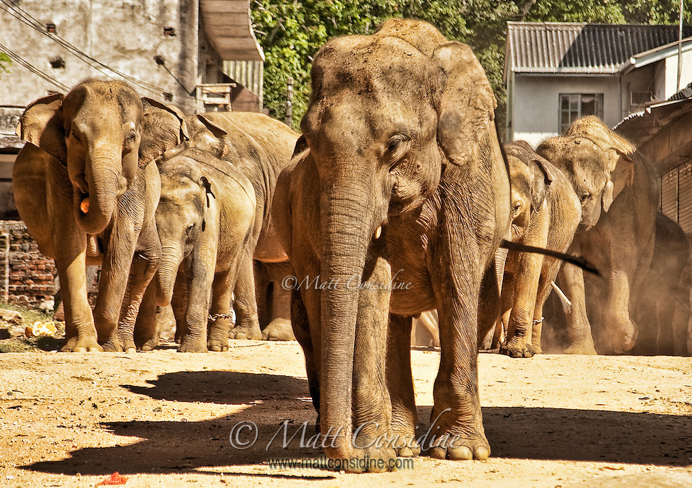 Elephants stampede through the middle of the village as they run towards the river for their daily bath.<br /> (Photo by Matt Considine - Images of Asia Collection)