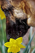 German Shepherd sniffing daffodils, Arlington, Virginia