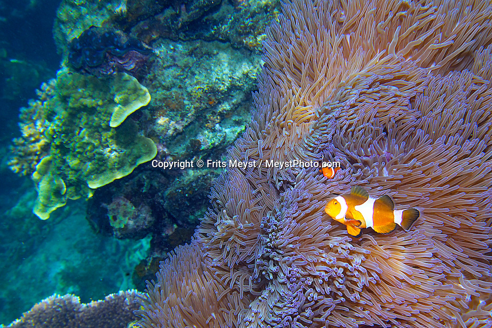 Pulau Besar, Perhentian Islands, Malaysia, April 2006.  False clown fish in their anamone residence, can be seen while snorkling. diving off the Perhentian Islands one can see lots of big and small marine life and various sorts of hard and soft corals. Photo by Frits Meyst/Adventure4ever.com