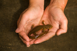 North America, United States, Oregon, Rogue River, salamander held in cupped hands