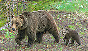 Sow Grizzly Bear with Cub of the Year