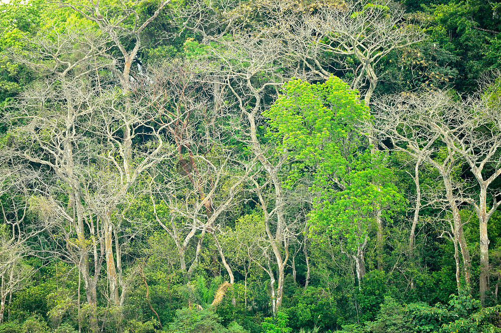 The dense tropical jungle of Barro Colorado Island, home to the Smithsonian Tropical Research Institute, Panama.
