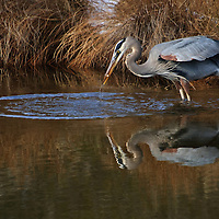 An adult great blue heron (Ardea herodias) catches a fish along the banks of an impoundment and is reflected in the tannin-rich water, Chincoteague National Wildlfie Refuge, Assateague Island, Virginia.