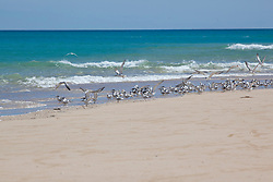 A mixed flock of Crested and Lesser Crested Terns take flight from a sandbank at Willie Creek.