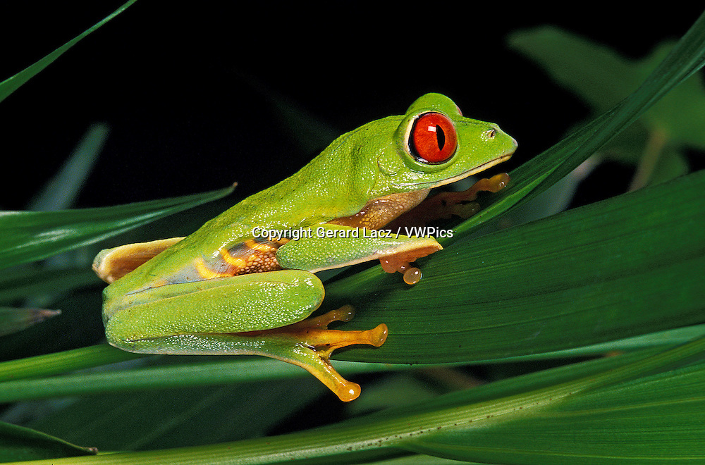 Red Eyed Tree Frog, agalychnis callidryas, Adult standing on Leaf