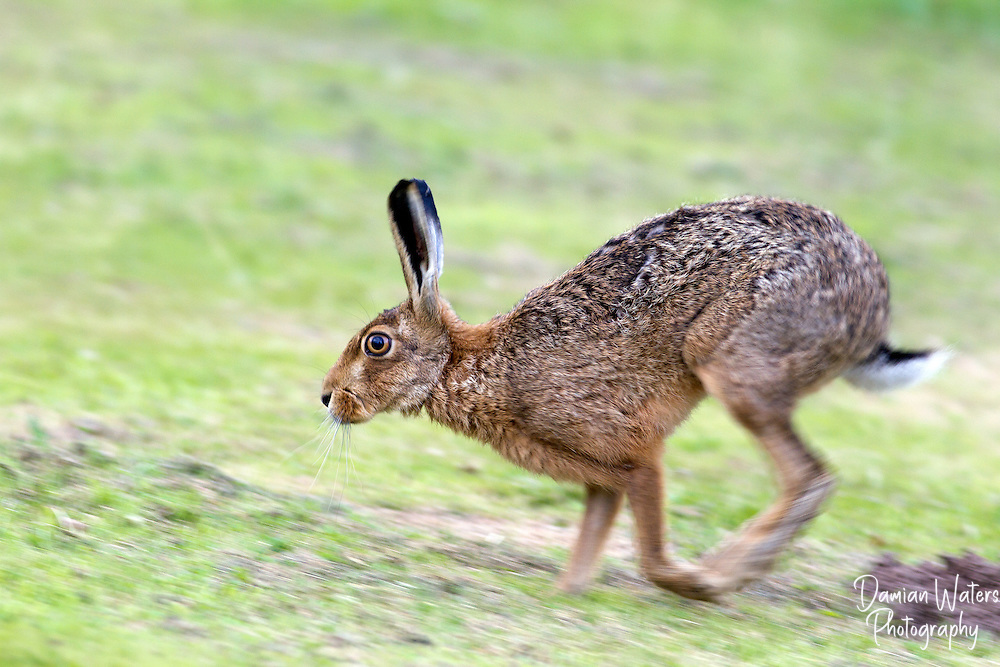 Brown Hare - Lepus europaeus - running with motion blur, Wirral, July