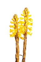 Cistanche phelypaea, broomrape; Huelva; Spain; Europe; Spain; Andalucia; vegetation flowering plant parasite spike; vertical; strong robust chunky; yellow white; wild; kills Sallicornia; saltmarsh; 2009; April; spring; strobe backlight; Marismas del Odiel