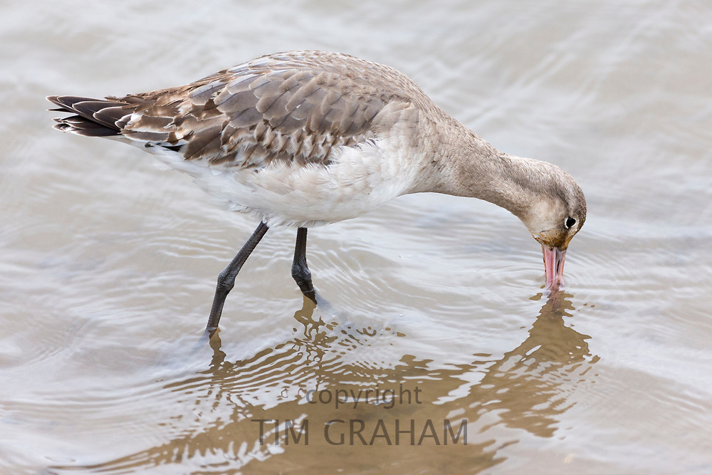 Bar-tailed Godwit, Limosa lapponica, a wading wild bird with long pointed bill beak feeding at shoreline in Norfolk, UK