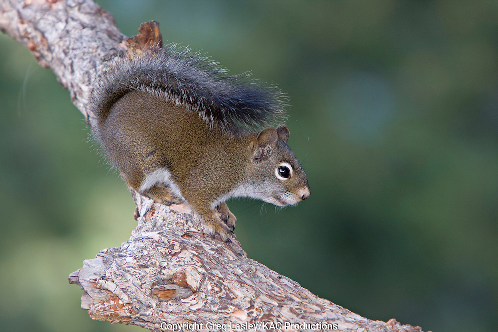 Red Squirrel.AKA Pine Squirrel.Tamiasciurus hudsonicus.near Breckenridge,.Summit Co., Colorado.25 July 2008
