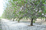 A plantation of blooming almond trees. Photographed in Israel