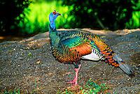 Ocellated Turkey, Tikal National Park, Peten, Guatemala