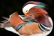 The colorful Mandarin Duck (Aix galericulata)