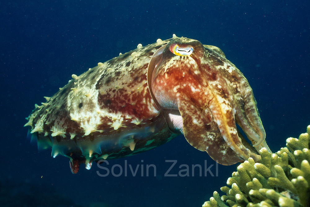 reef cuttlefish (Sepia latimanus) reef cuttlefish. (Sepiida) house reef Kungkungan Bay Resort, Lembeh Strait, North Sulawesi, Indonesia, Pacific Ocean