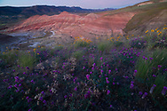USA, Pacific Norhwest, Central Oregon, Oregon, Wheeler County,  John Day Fossil Beds , National Monument, Painted Hills, spring bloom and badlands