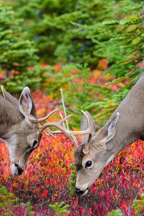 Mule deer bucks sparring, Mt. Rainier National Park, Washington