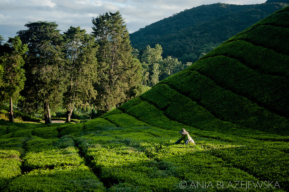 Malaysia, Cameron Highlands. Tea picker at Sungai Palas Tea Estate, one of the Malaysian tea plantations providing the best views of green tea hills.