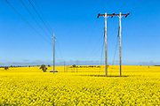 electricity power lines in a field of canola
