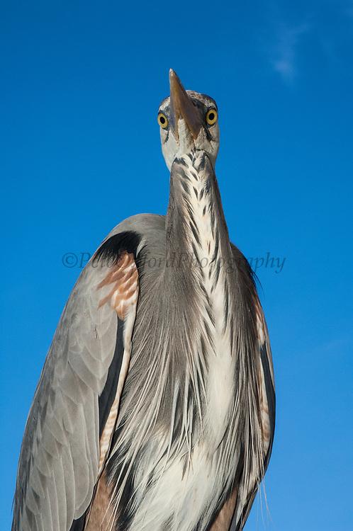 Great Blue Heron (Ardea herodias)<br /> Puerto Ayora. Santa Cruz Island, GALAPAGOS<br /> ECUADOR. South America<br /> RANGE; Alaska, USA to Islands of Venezuela &amp; Galapagos