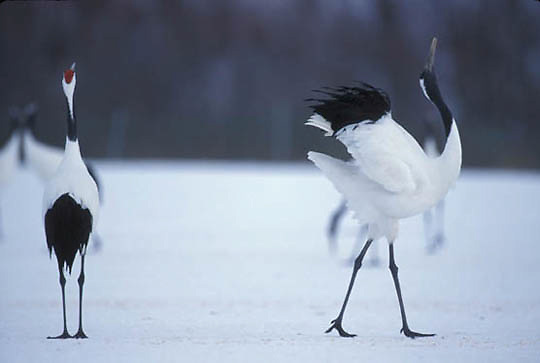 Japanese Crane or Red- crowned Crane, (Grus japonensis) Hokkaido, Japan.