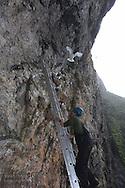 Grad student Dagfinn Breivik Skomsø climbs ladder along sheer cliffs of kittiwake colony to snag chick for research on Blomstrand island; Kongsfjorden, Svalbard.