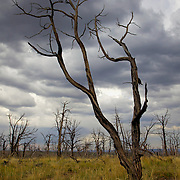 Devastating wildfires have burned 70% of Mesa Verde National Park since it was established in 1906. Over 95% of these were started by lightning. Mesa Verde is prone to lightning strikes - receiving up to 100 in a 24-hour period during the summer. But despite its utter destruction, the forest here on Chapin Mesa is starkly beautiful.