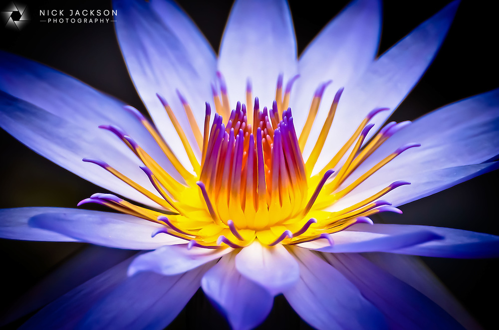 A global award-winning piece from my fauna collection, this photograph highlights the bold and beautiful intensity of the colours of waterlilies