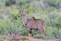 Kudu bull in an acacia thicket, Karoo National Park, Western Cape, South Africa