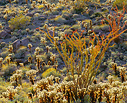 0660-1009 ~ Copyright:  George H. H. Huey ~ Blooming ocotillo and teddy bear cholla cactus in the Vallecito Mountains.   Mojave Desert, springtime.  Anza-Borrego State Park, California.