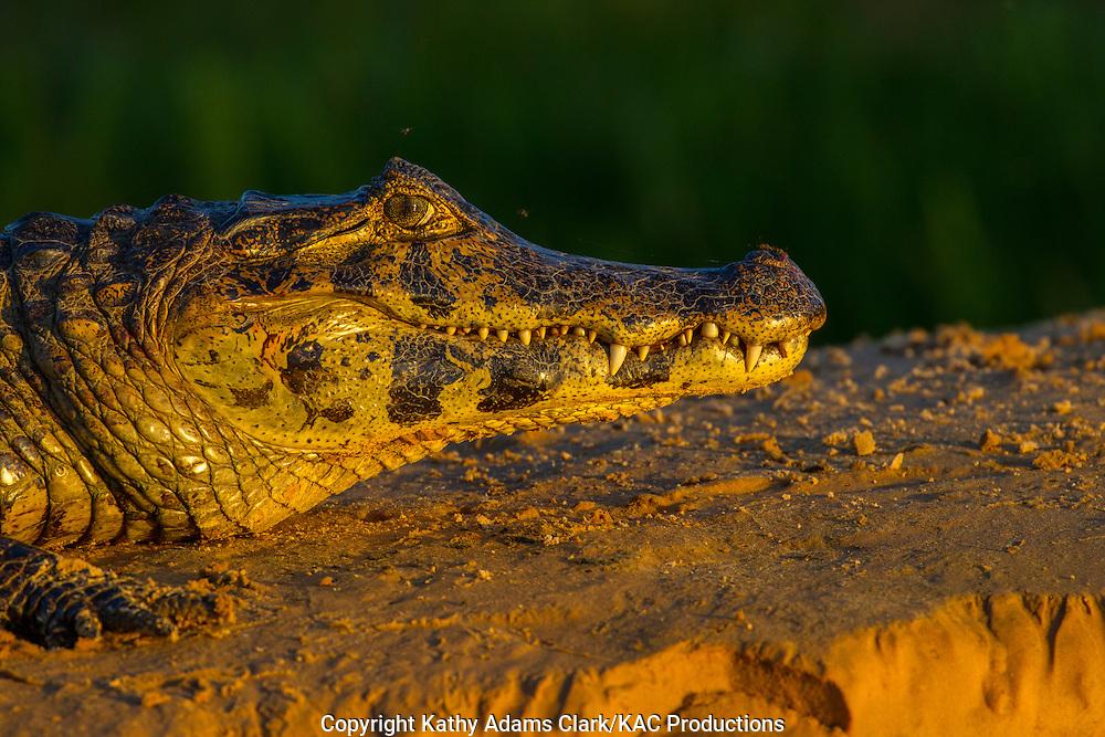 Brazil; Caiman; Caimaninae; Jacare caiman; Mato Grosso; Pantanal, mosquitos,