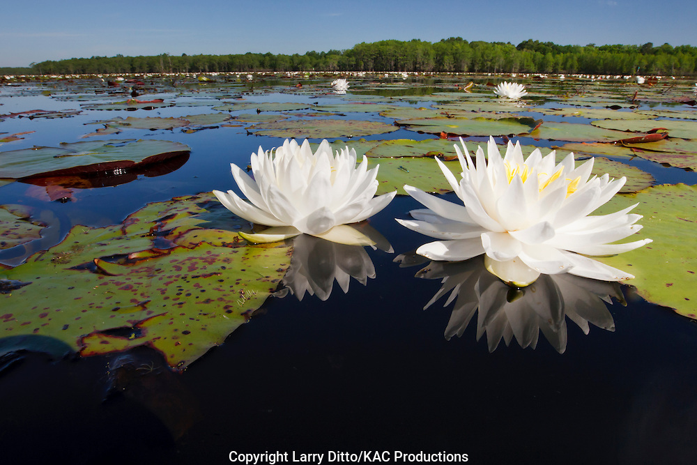 Fragrant Water Lilies (Nymphaea odorata) in Caddo Lake, Texas