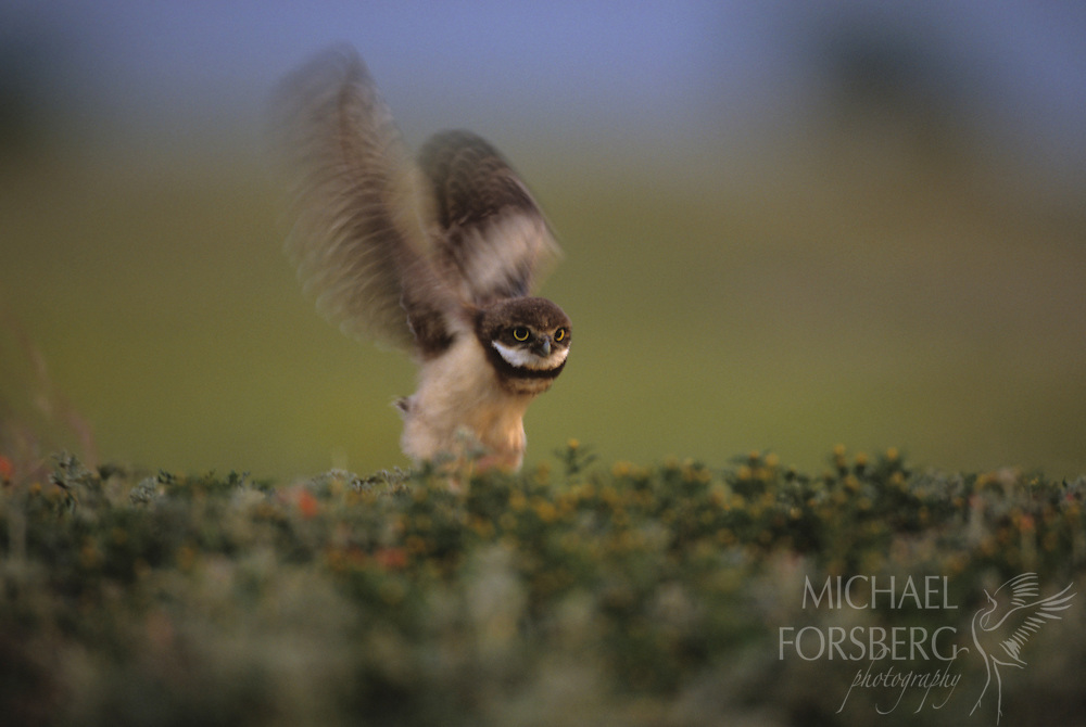 Burrowing Owl chick practices flight outside nest burrow on prairie dog town. Conata Basin, Buffalo Gap National Grassland, South Dakota.