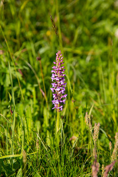 Alpine fragrant orchid wildflower in the Swiss Alps near Zermatt, Switzerland