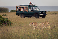 A cheetah hunting in the Masai Mara National Reserve, Kenya, Africa