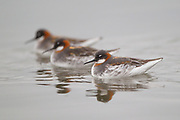 Stock photo of red-necked phalarope captured in Colorado.  Females are more larger and colorful than males. The females take the lead in courtship.