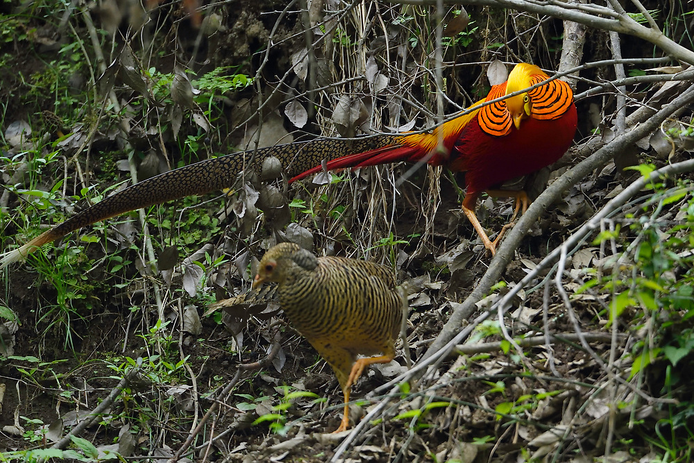 Golden pheasant, Chrysolophus pictus, in TangjiahTangjiahe National Nature Reserve, Sichuan Province; China