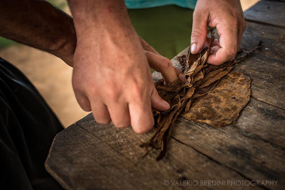 A man asks for help to hold some leaves to roll a perfect cigar from an organic plantation in Vinales. After drying, the leaves are soaked in a special bath made with lemon, honey and spices where are left to ferment. Vinales National park, Cuba.