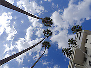 Awe inspiring photograph looking up at six mature high California Fan Palms (Washingtonia filifera) with clouds in blue sky background