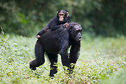"Mother Chimpanzee (Pan troglodytes schweinfurthii) ""Nambi"" (alpha-female) carrying daugther ""Night"" (3 years) on her back across a rainforest clearing. Budongo Forest Reserve, Masindi, Uganda, Africa."