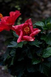 09 June 2014:  A red hibiscus begins to curl and fade as the bloom passes it's prime.