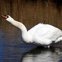 Mute Swan stretching